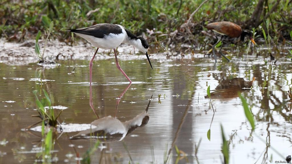 Schwarzweißer Vogel mit langen rosafarbenen Beinen spiegelt sich im Wasser