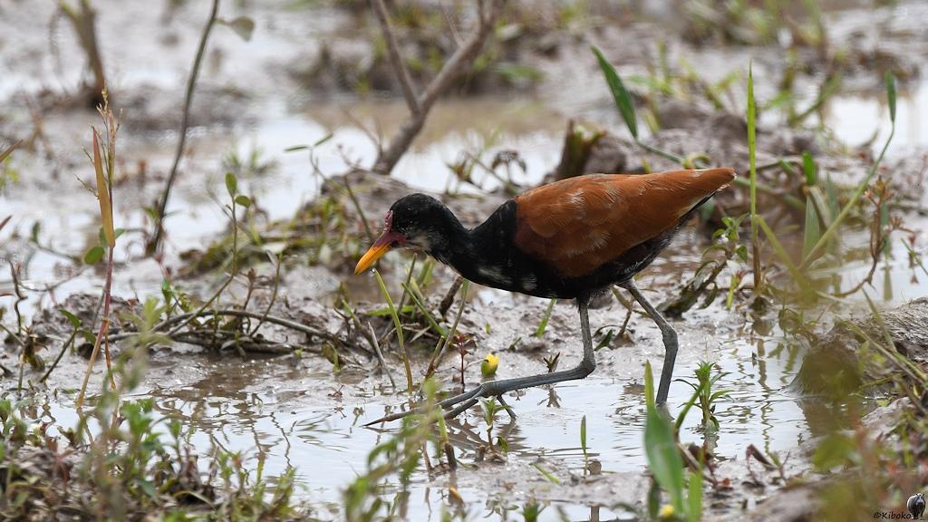 Schwarzbrauner Vogel mit roter Stirn und großen Füßen