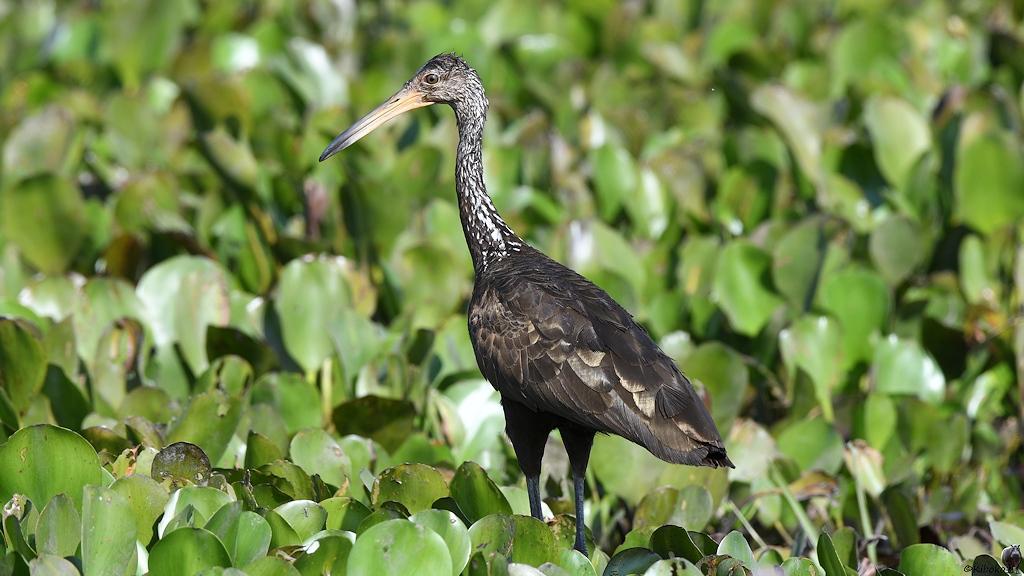 Großer graubrauner Vogel mit langen Schnabel