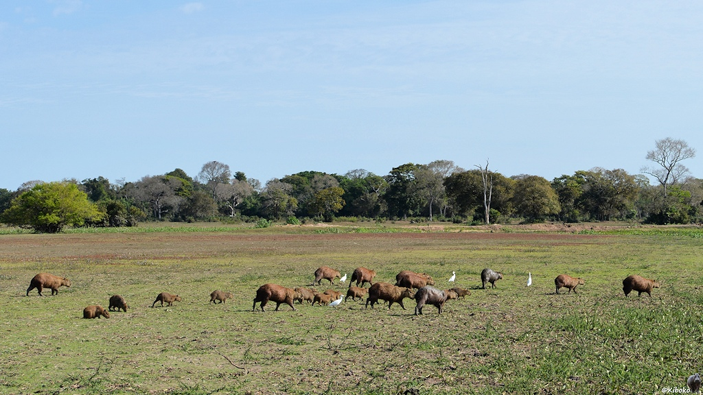Zwanzig Capybaras laufen über eine Kuhweide