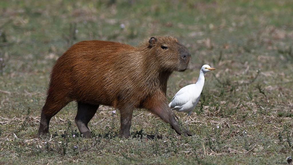 Capybara und Kuhreiher schreiten vorbei