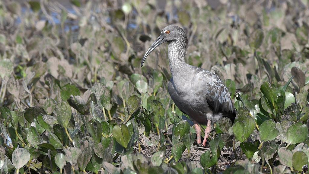 Grauer Ibis mit weißem streifen auf der Stirn