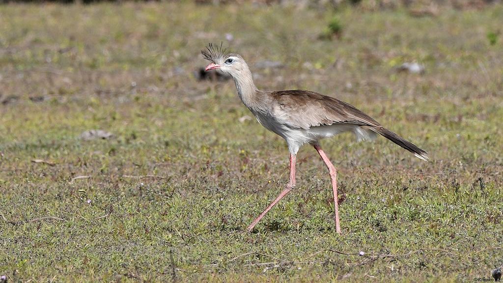 Großer graubrauner Schreitvogel mit roten Beinen und rotem Schnabel