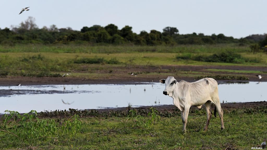 Weiße Kuh an einen Wasserloch