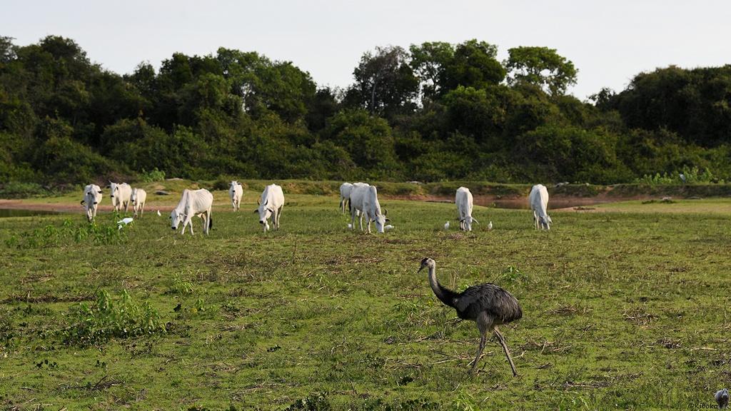 Großer grauer Laufvogel mit Kühen im Hintergrund