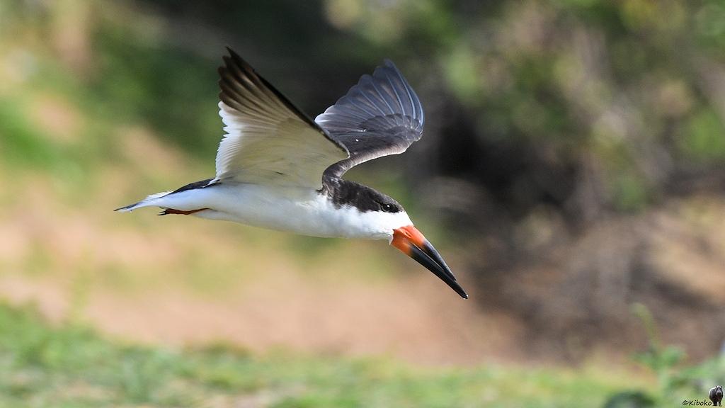 Schwarzweißer Vogel mit markantem rot-schwarzen gekreuzten Schnabel im Flug