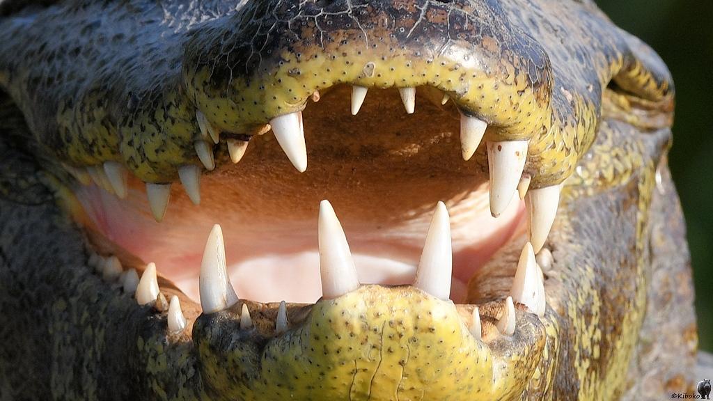 Brillenkaimanmaul mit weißen Zähnen von vorn