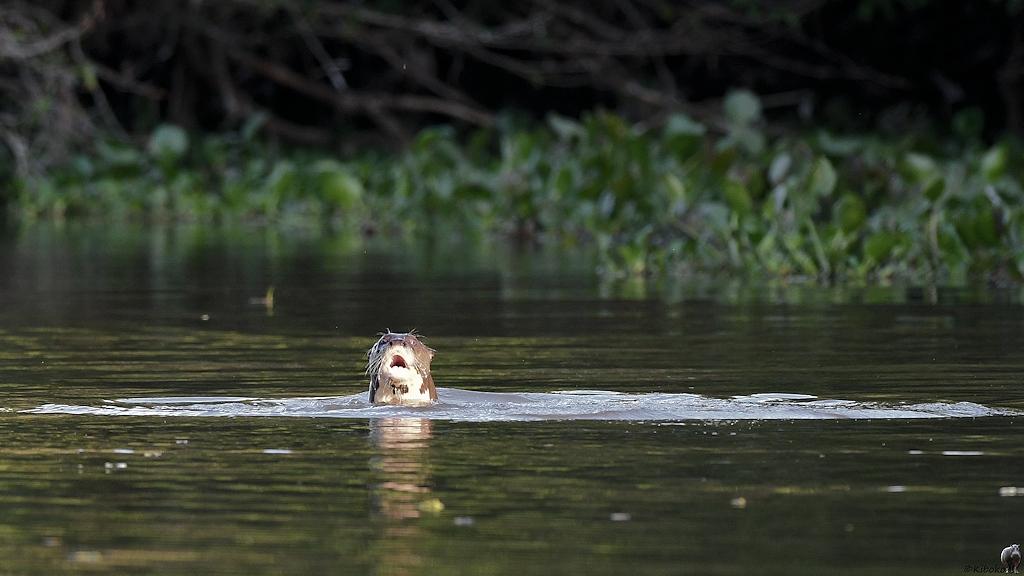 Riesenotter schaut mit dem Kopf aus dem Wasser