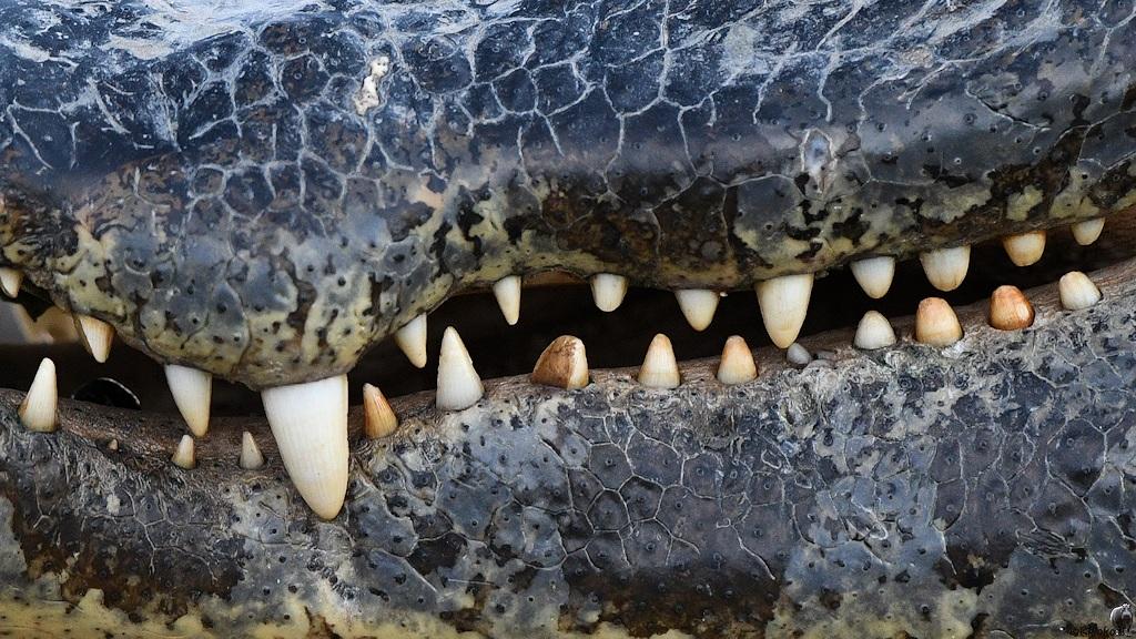 Zahnreihen eines Brillenkaimans