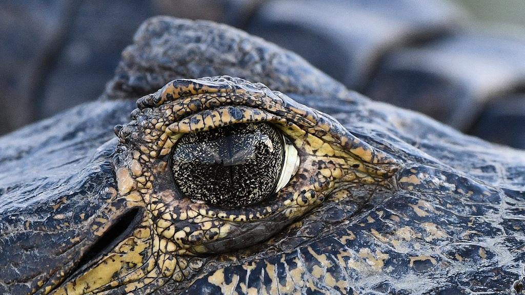 Auge eines Brillenkaimans