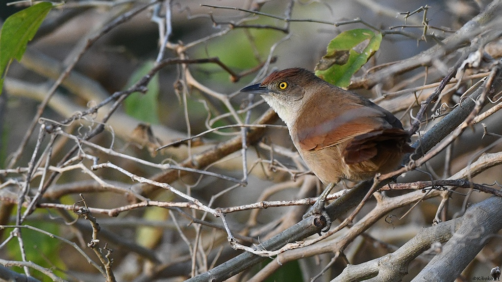 Kleiner Rotbrauner Vogel mit gelbem Auge im Gestrüpp