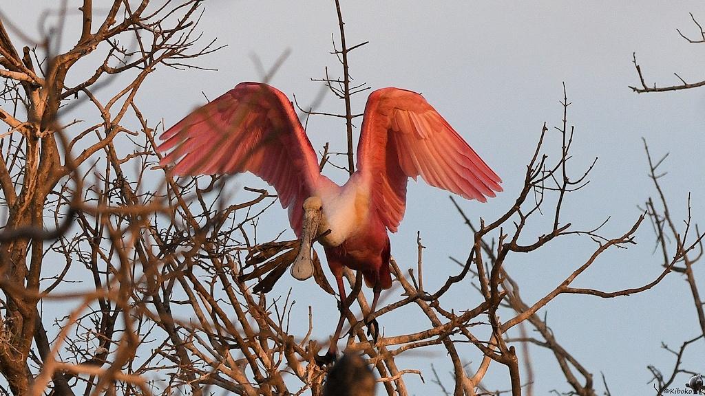 Rosafarbener Vogel mit Löffelschnabel schlägt mit den Flügeln in einen trockenen Baum