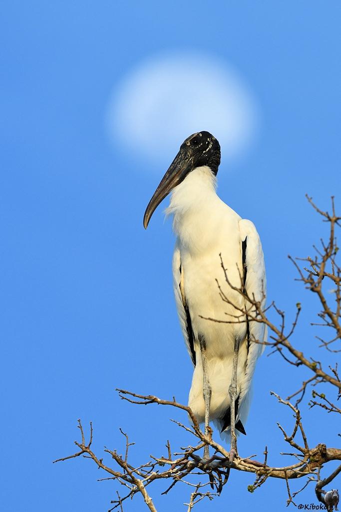 Weißer Storch mit schwarzem Kopf und schwarzem Schnabel for dem Mond