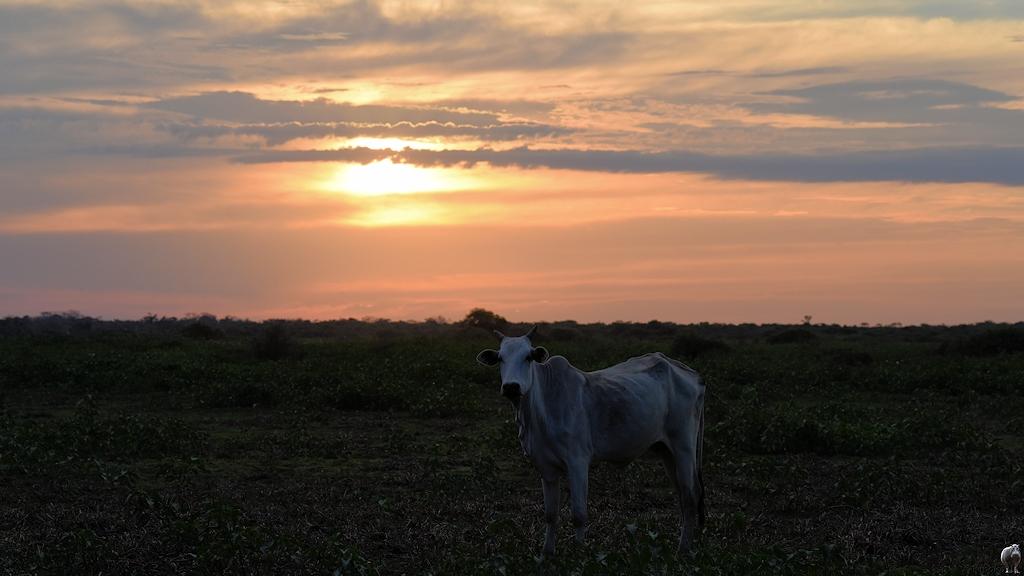 Sonnenuntergang mit Kuh im Vordergrund