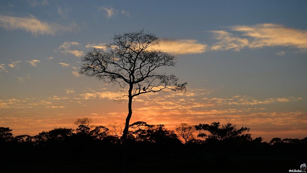 Laufloser Baum vor orange gefärbten Wolken kurz vor Sonnenaufgang