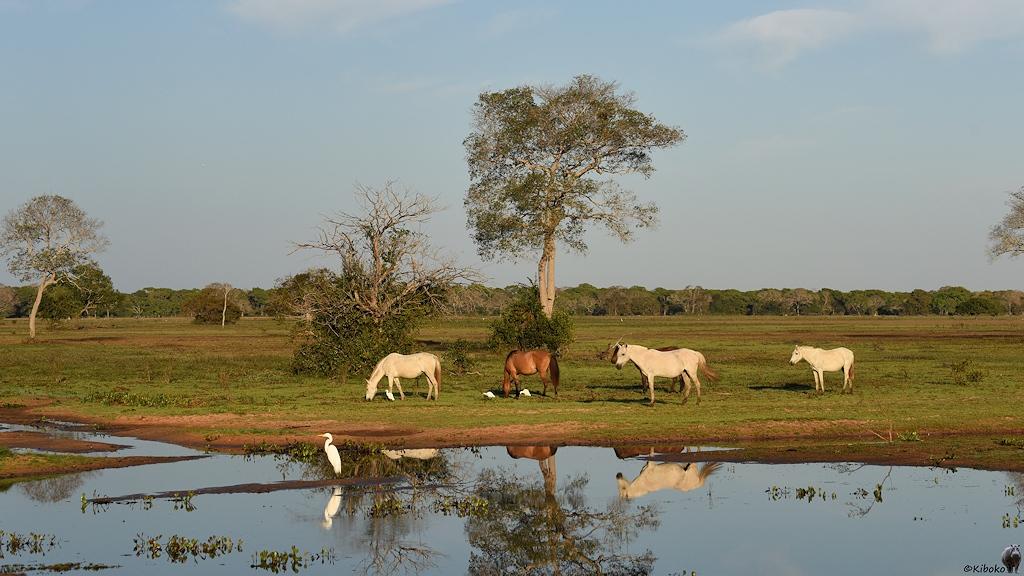 Vier Pferde an einem Tümpel