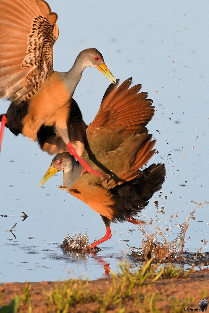 Ein brauner Hühnervogel mit grauem Hals und gelbem Schnabel stürzt sich auf einen Artgenossen. Dabei spritzt das Wasser hoch.