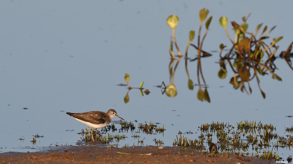 Ein kleiner Watvogel mit gelben Beinen läuft am Ufer des Tümpels entlang