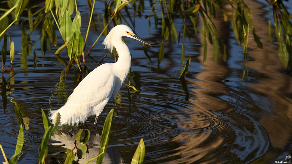Ein weisser Reiher mit Schmuckfedern an Kopf und Schwanz steht im Wasser