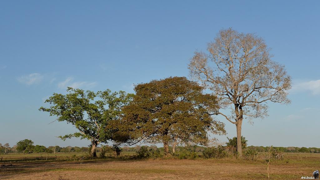 Baumgruppe aus drei Bäumen im Morgenlicht