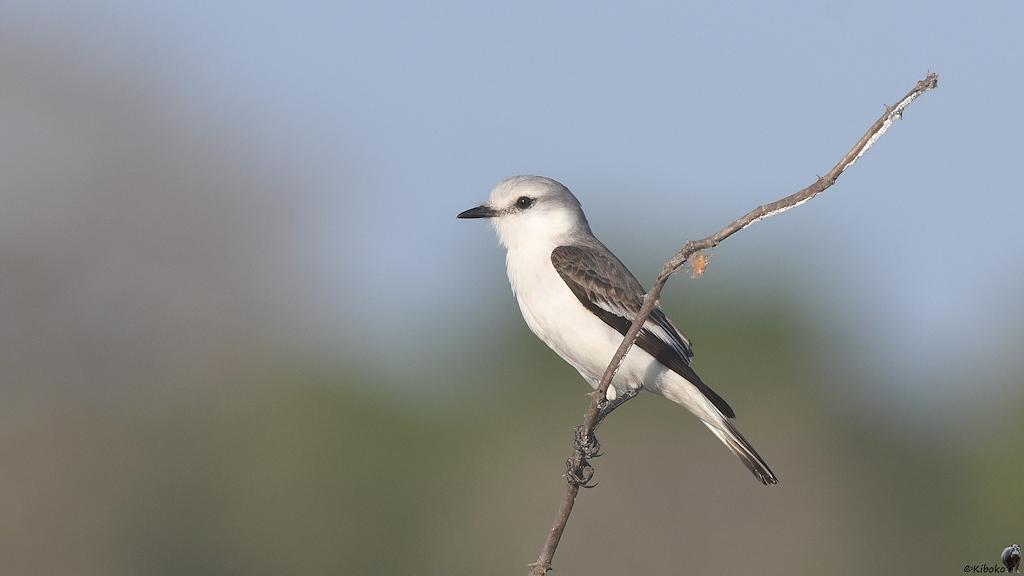Ein kleiner weisser Vogel mit grau-schwarzen Flügeln sitz auf einen tockenen Baum