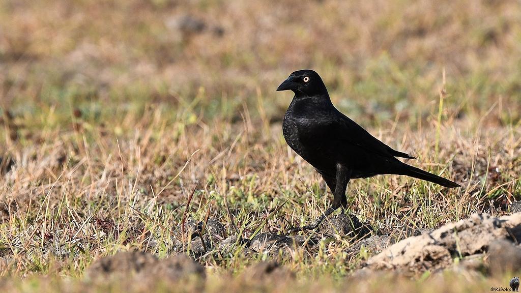 Ein schwarzer Vogel mit einem weissen Auge läuft über eine Wiese
