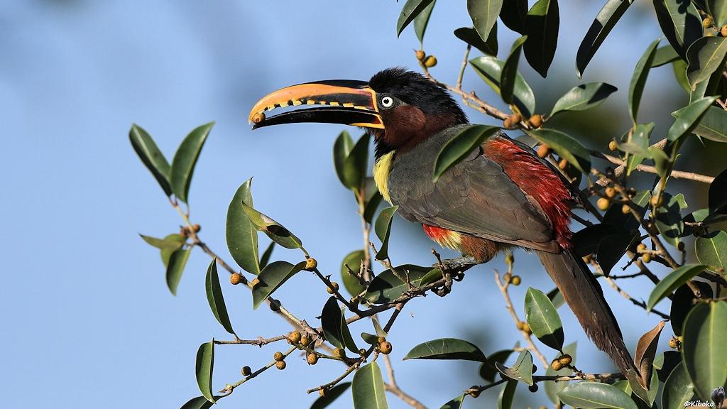 Großre graubrauner Vogel mit großem gelb-braunem Schnabel pflückt kleine braune Früchte im Baum