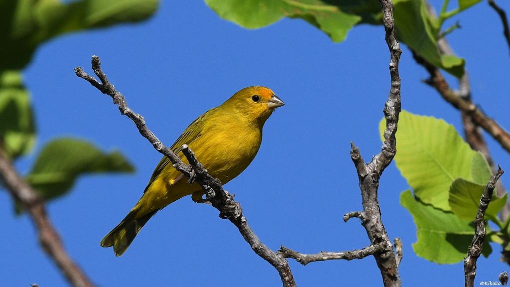 Kleiner gelber Vogel mit orangener Stirn sitzt auf einem Ast vor blauen Himmel
