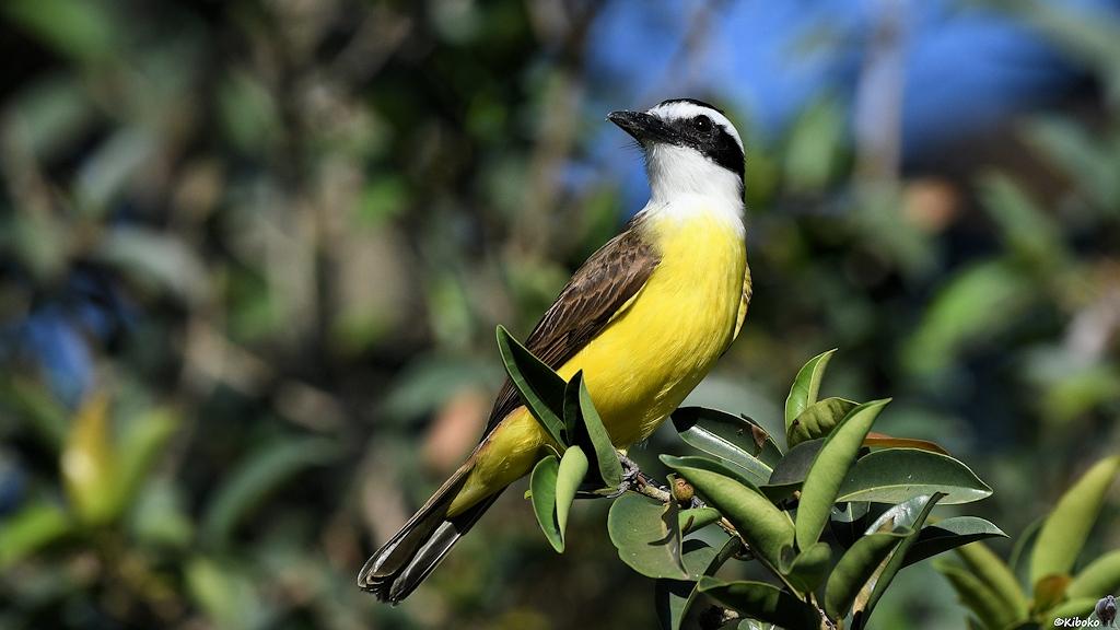 Ein kleiner Vogel mit weissem Kopf, schwarzer Augenmaske, gelbem Bauch und graubraunen Flügeln sitzt zwischen Blättern