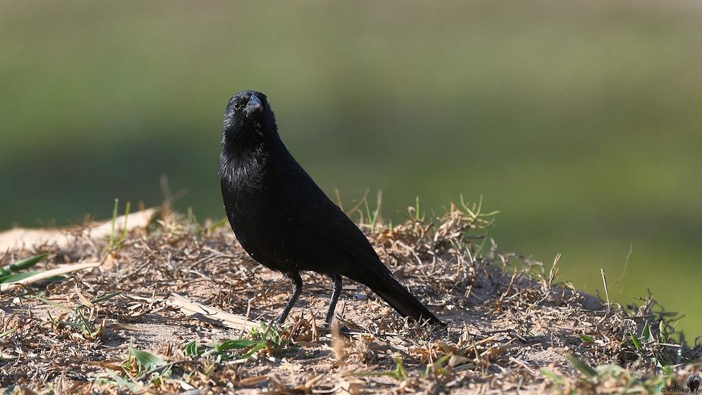 Ein pechschwarzer Vogel sucht auf dem Boden nach Futter